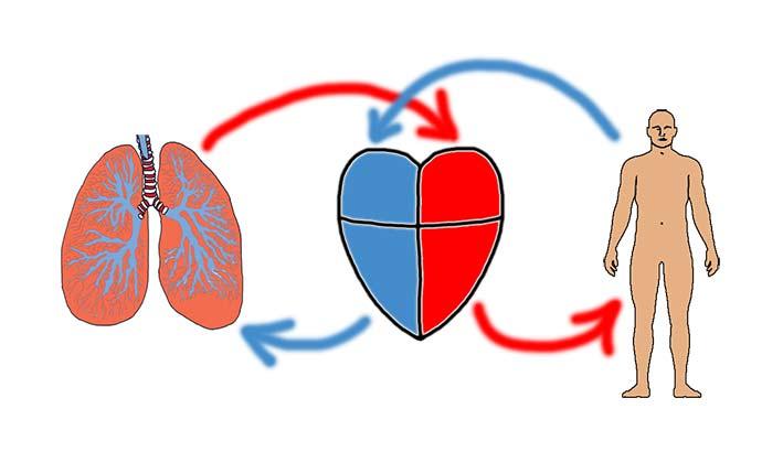 hvilken side sidder hjertet