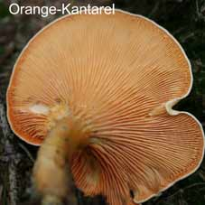Orange Kantarel016
